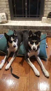 Lone Star Dog Training The Woodlands can solve sibling aggression!